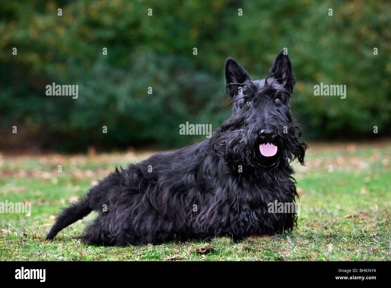 scottie dog stock photos scottie dog stock images alamy