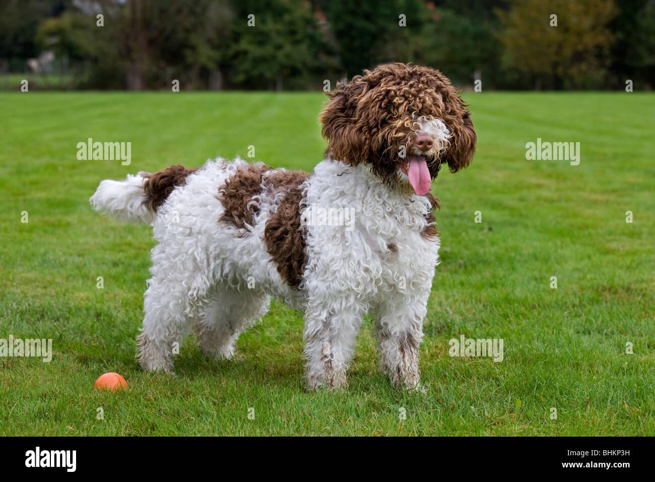 Spanish Water dog or Perro de Agua Espanol (Canis lupus familiaris) in garden - Stock Image