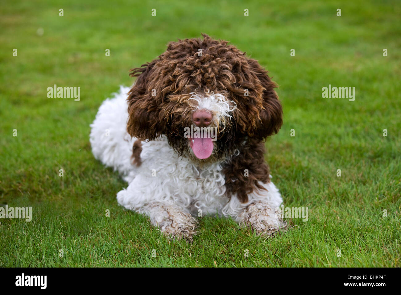 Spanish Water dog or Perro de Agua Espanol (Canis lupus familiaris) lying in garden - Stock Image
