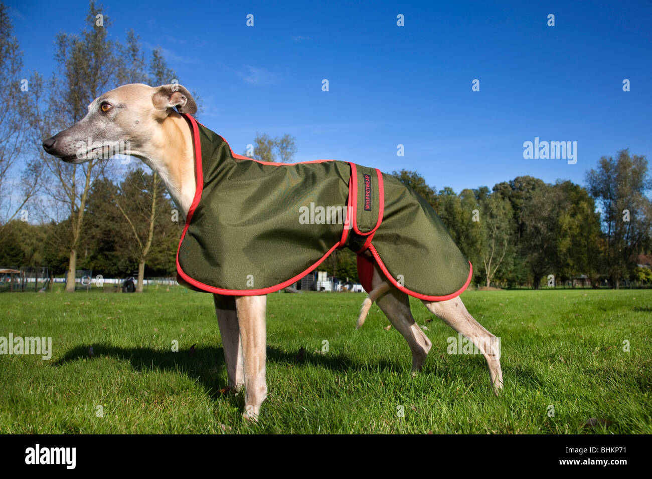 Whippet (Canis lupus familiaris) with jacket in garden - Stock Image
