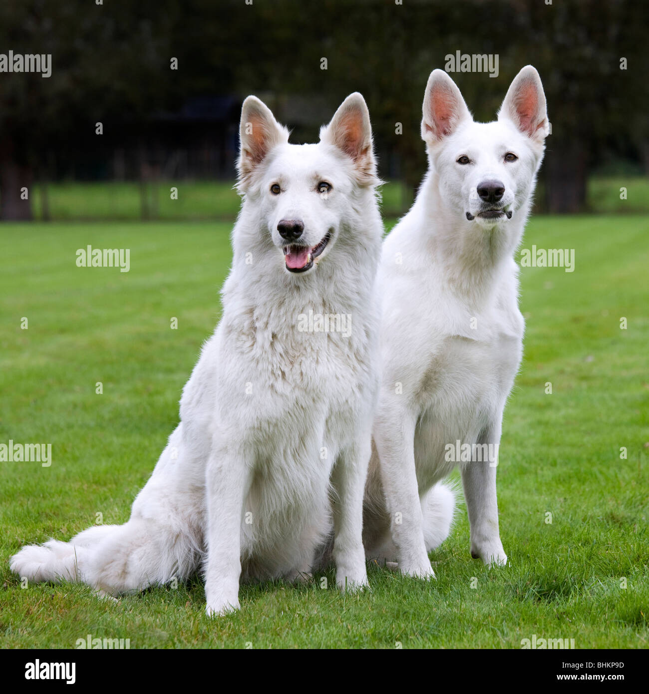 Two White Swiss Shepherd Dogs (Canis lupus familiaris) in garden - Stock Image
