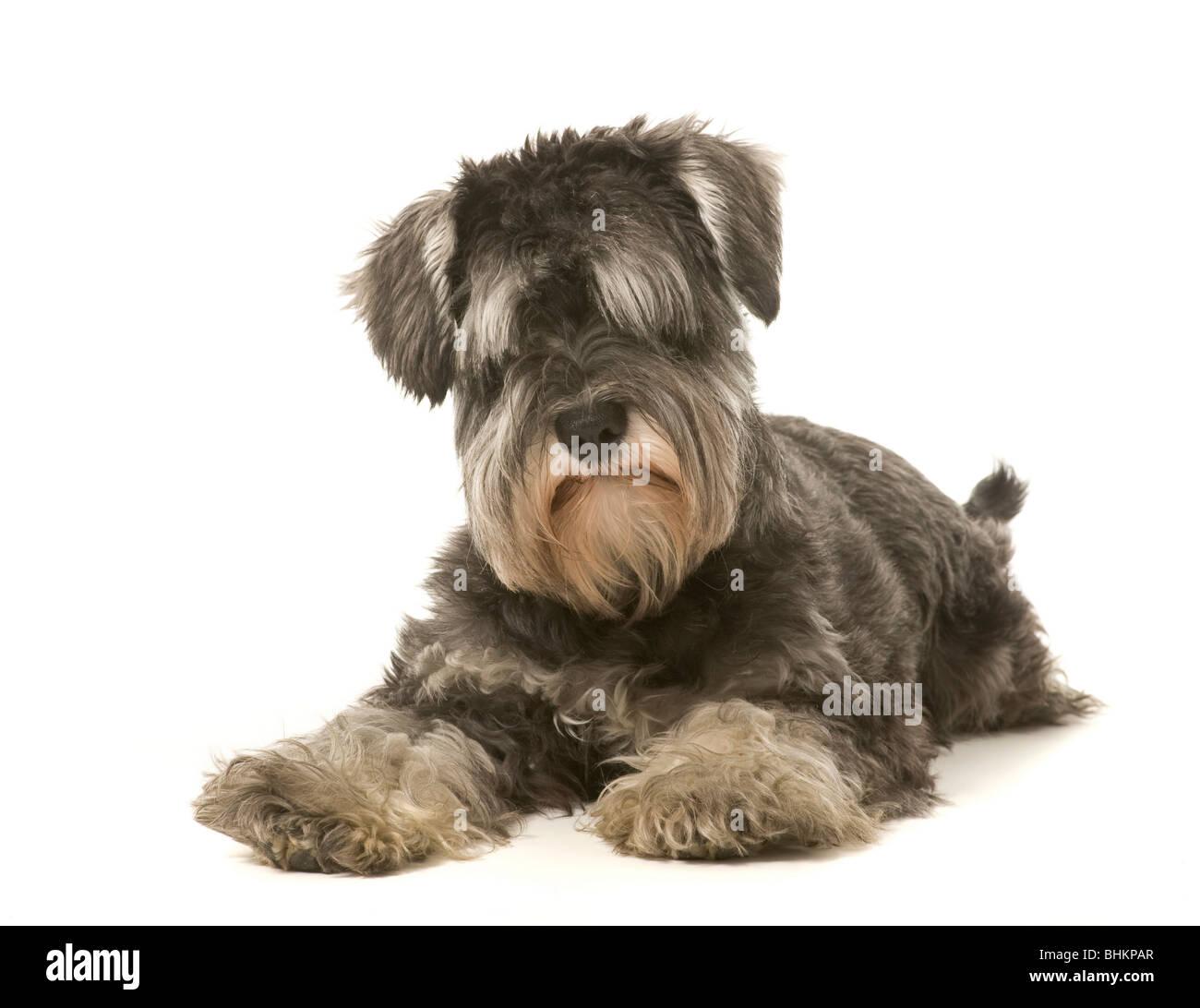 Black Pepper Dog Digging