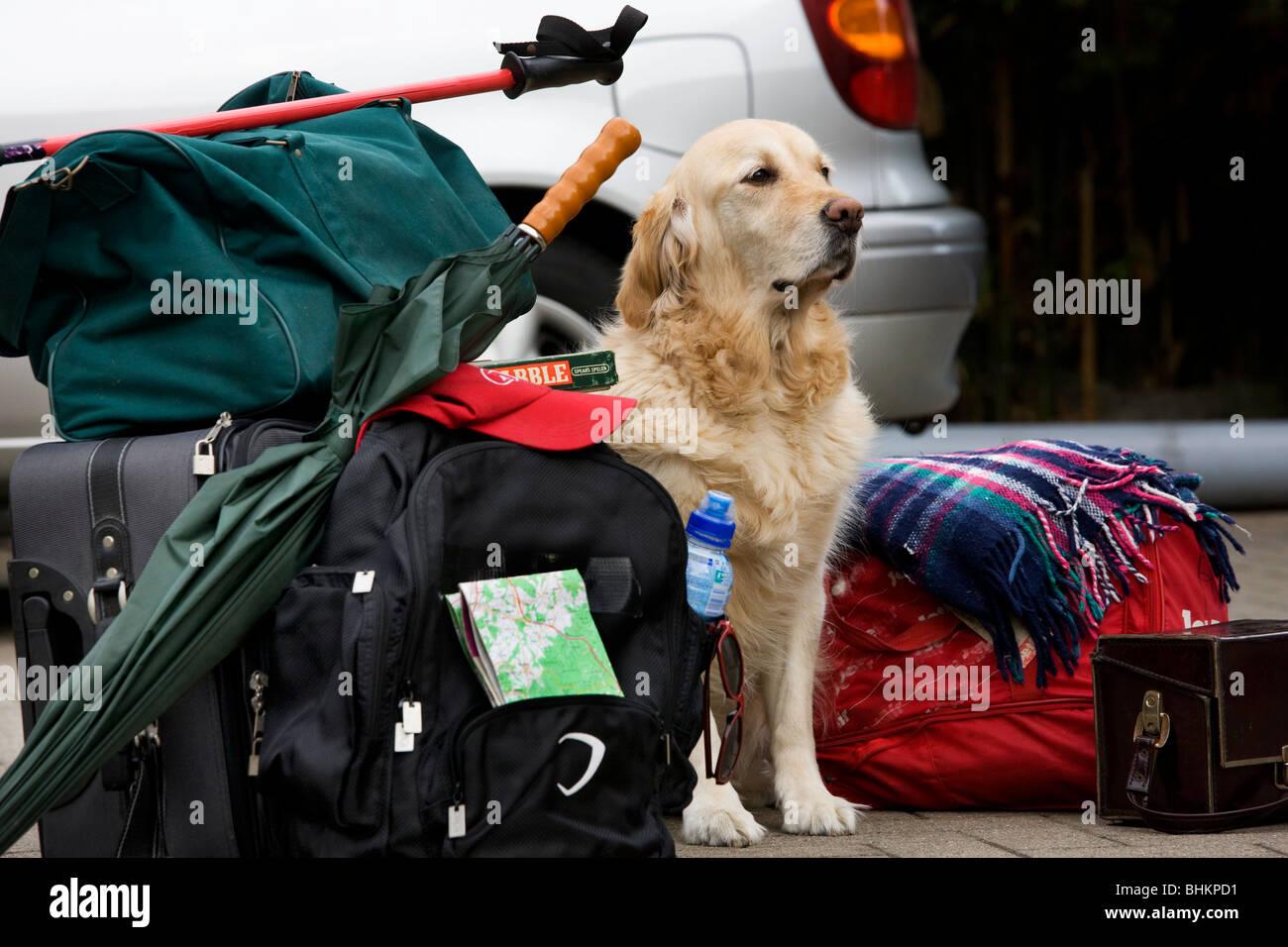 Golden Retriever (Canis lupus familiaris) guarding luggage - Stock Image