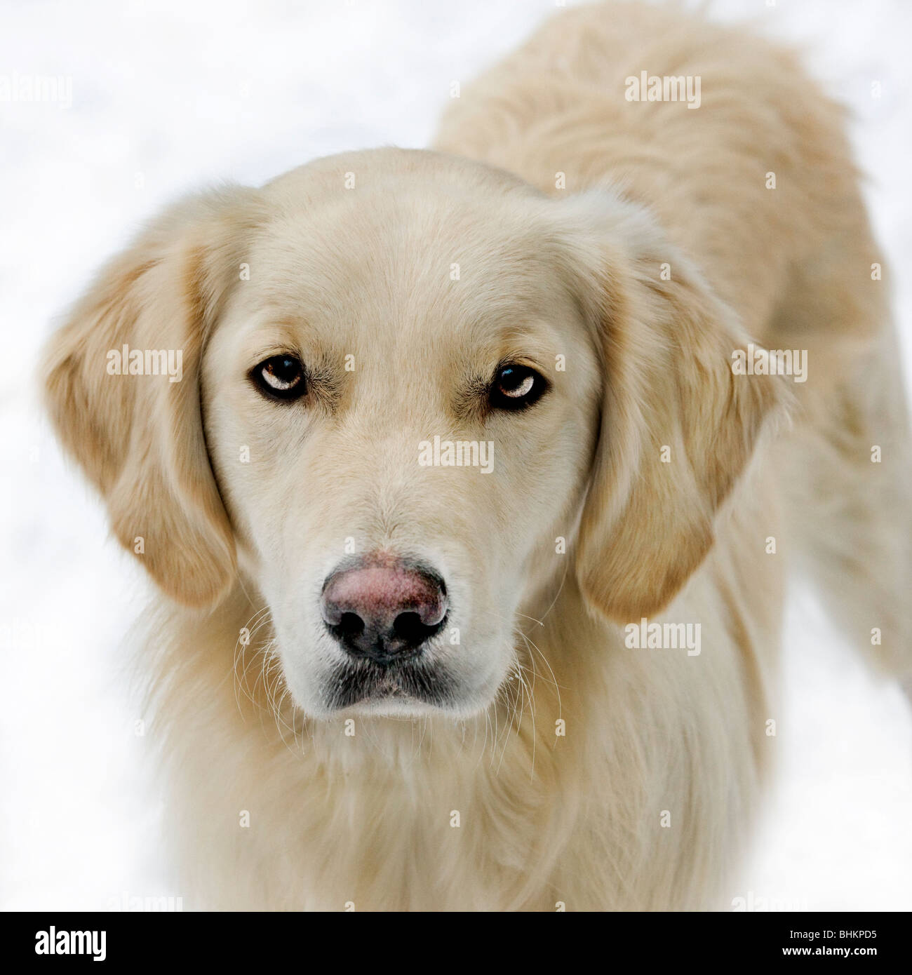 Golden Retriever (Canis lupus familiaris) in the snow in winter - Stock Image