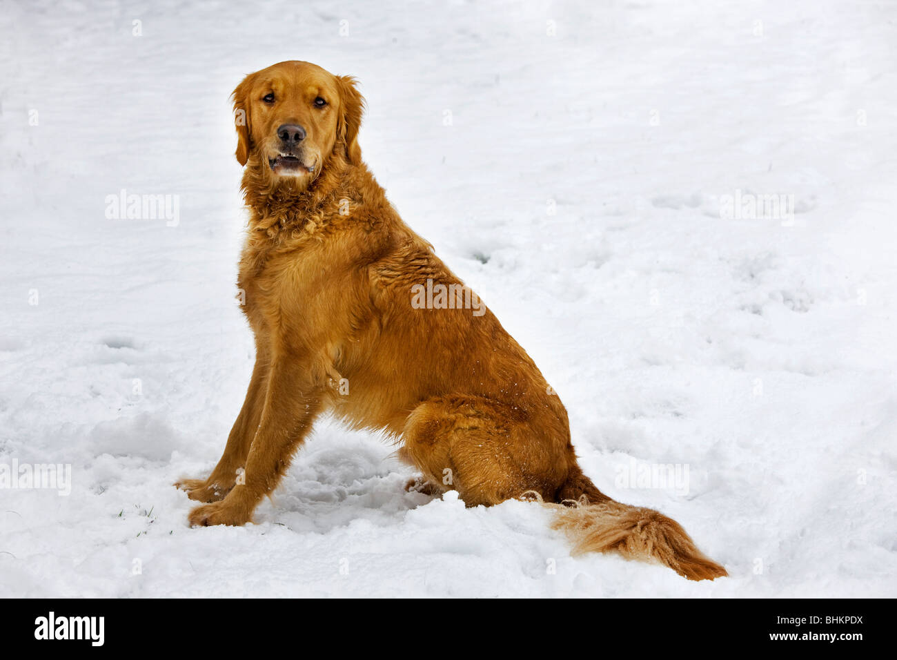 Golden Retriever (Canis lupus familiaris) in garden in the snow in winter - Stock Image