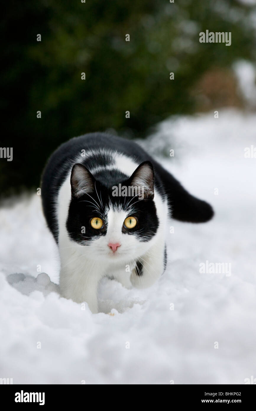 House cat (Felis catus) in garden in the snow in winter - Stock Image