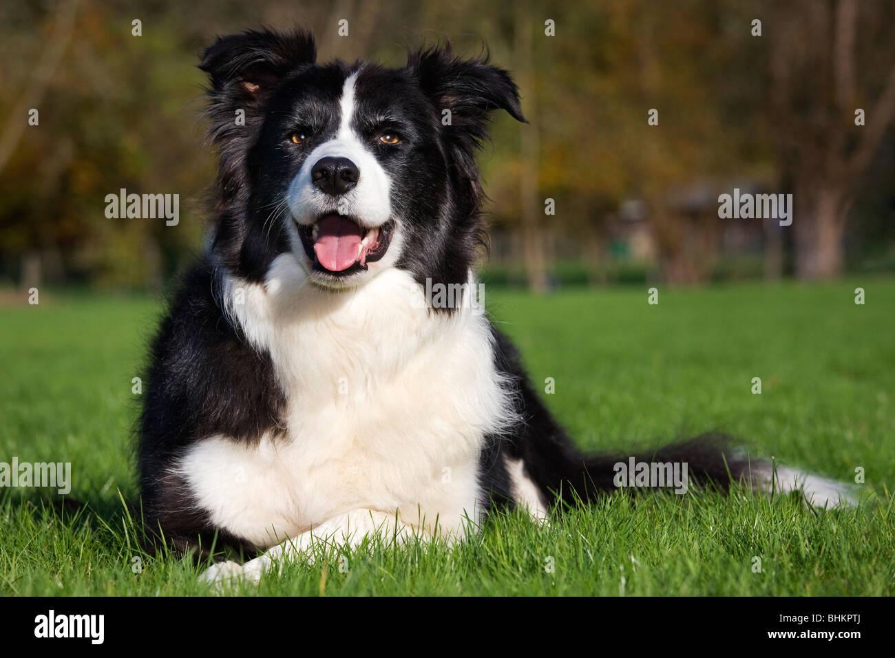 Border Collie (Canis lupus familiaris) in garden - Stock Image