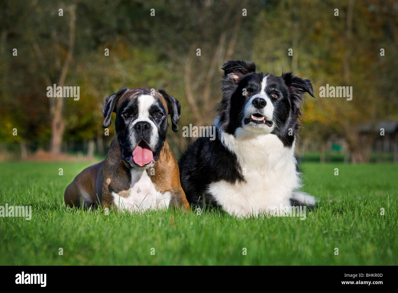 Border Collie and Boxer (Canis lupus familiaris) in garden - Stock Image