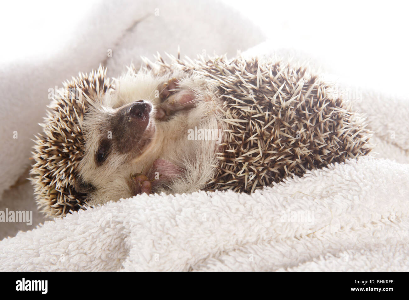 African Pygmy Hedgehog Single adult female Studio, Captive, UK - Stock Image