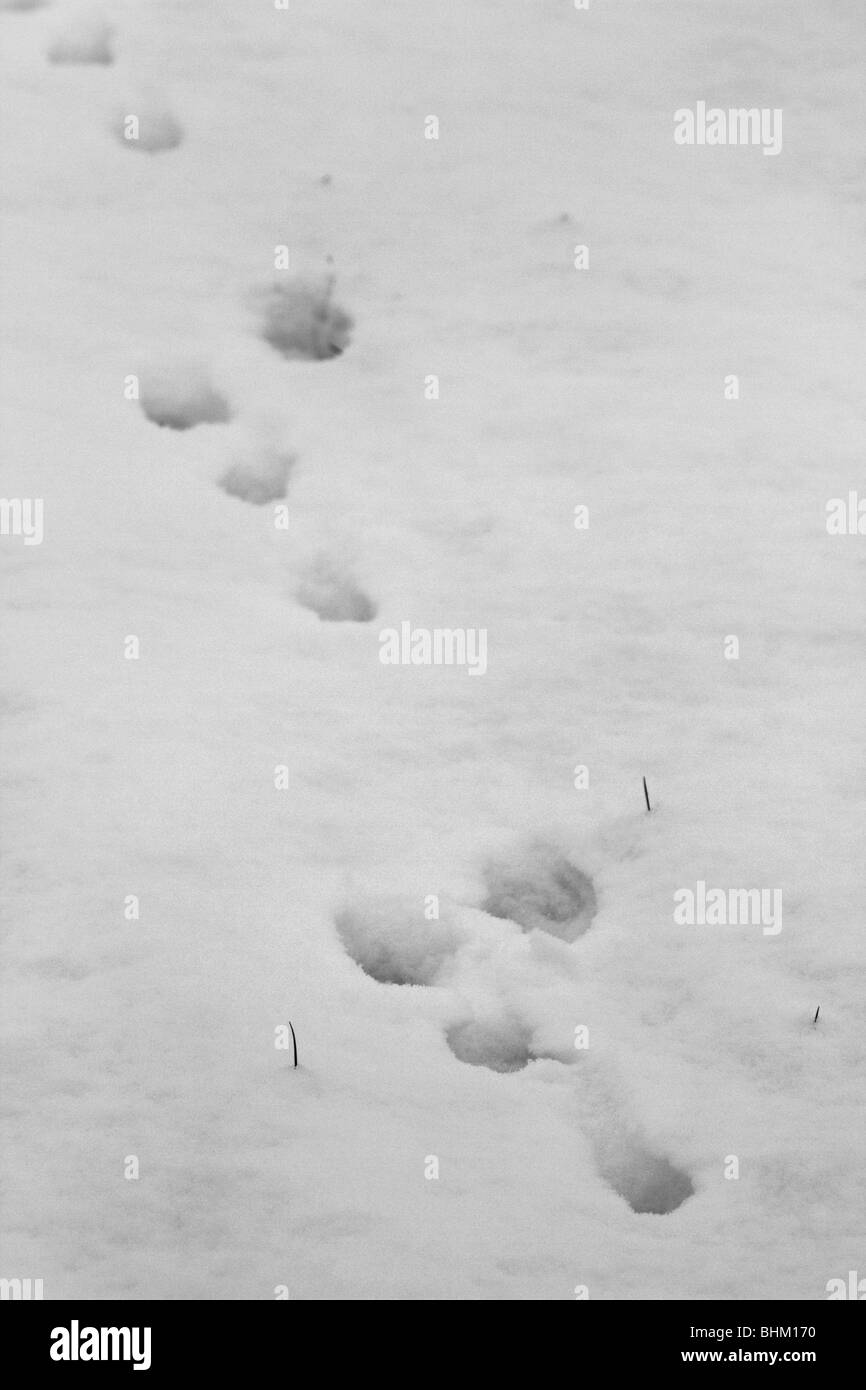 Brown Hare footprints it the snow; Lincolnshire - Stock Image