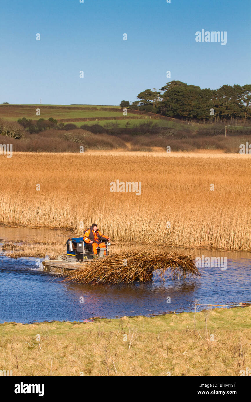 Reed Cutting; Marazion Marsh; Cornwall - Stock Image