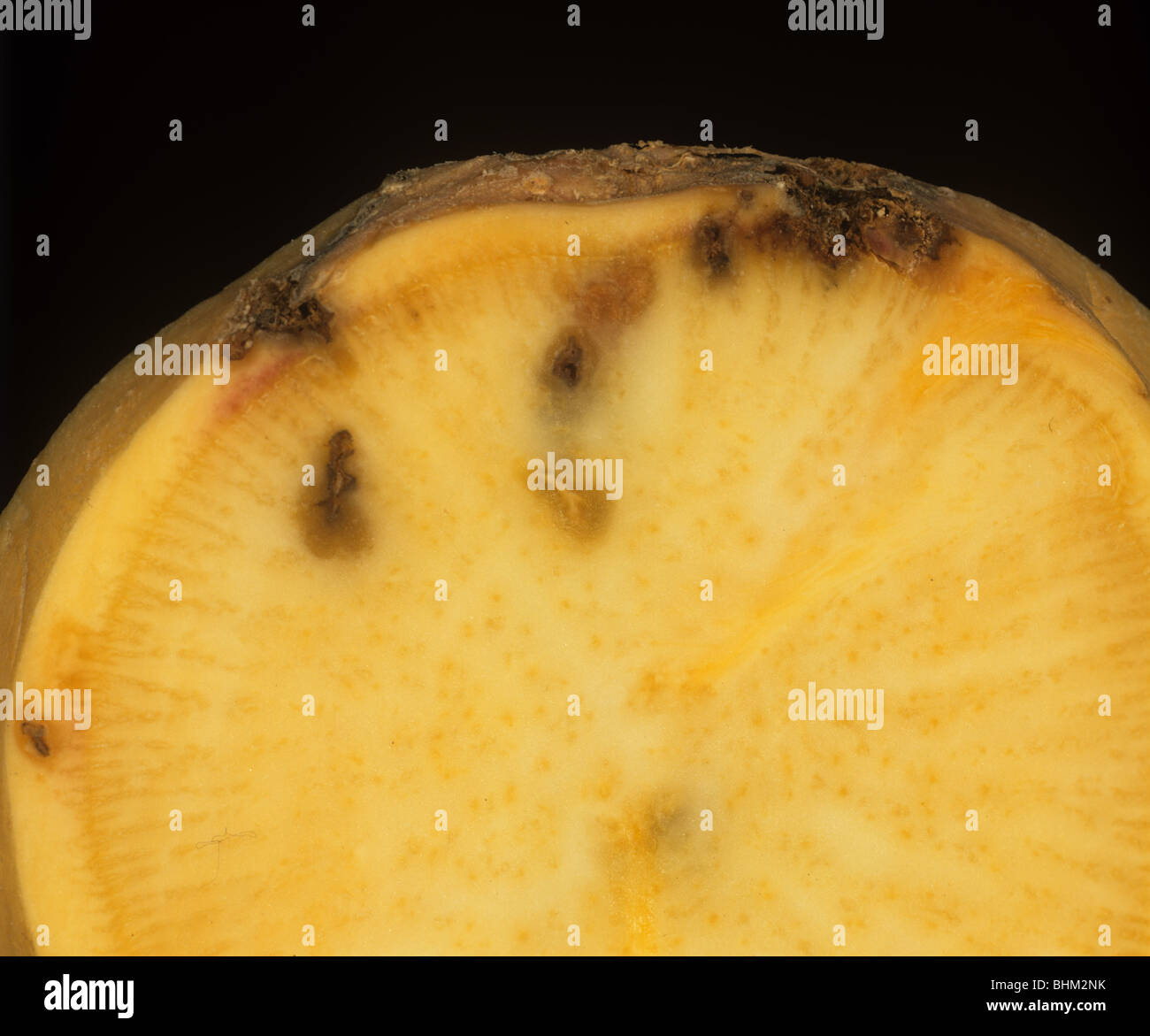 Wireworm (agriotes sp.) feeding damage shown in a cross section of a parsnip root - Stock Image