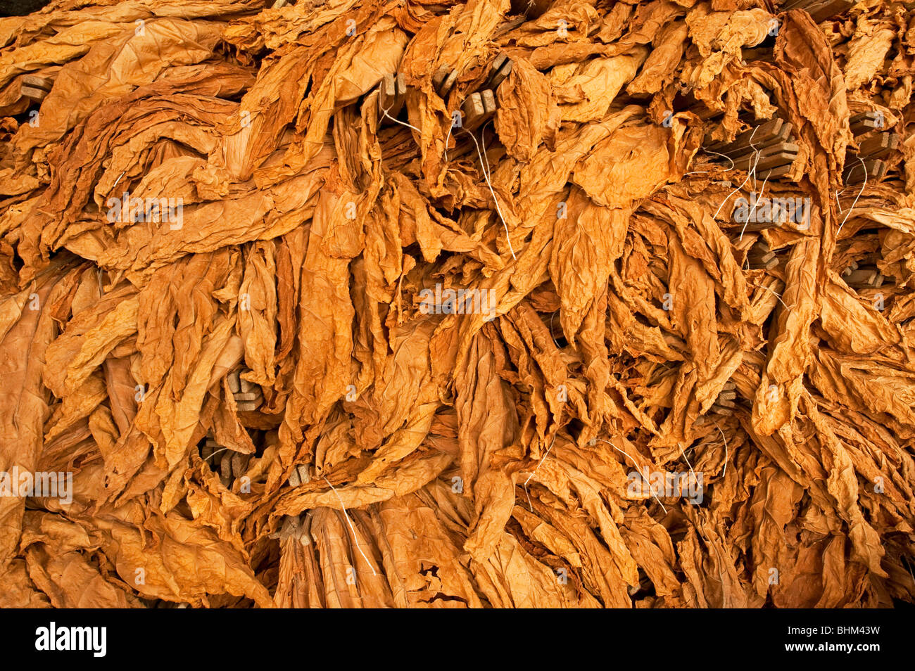 Tobacco leaves drying - Stock Image