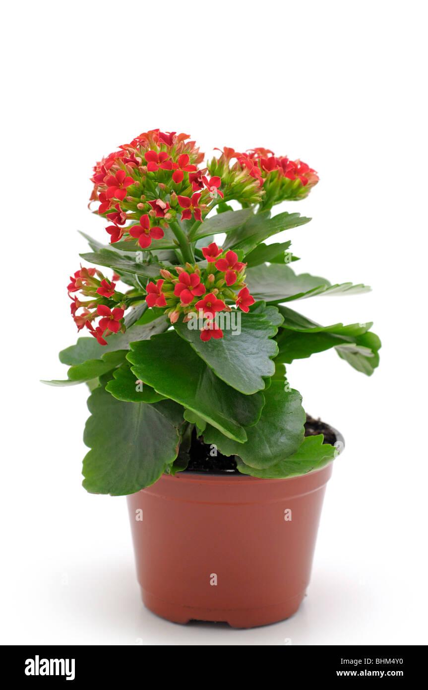 Pot plant - Kalanchoe - Stock Image