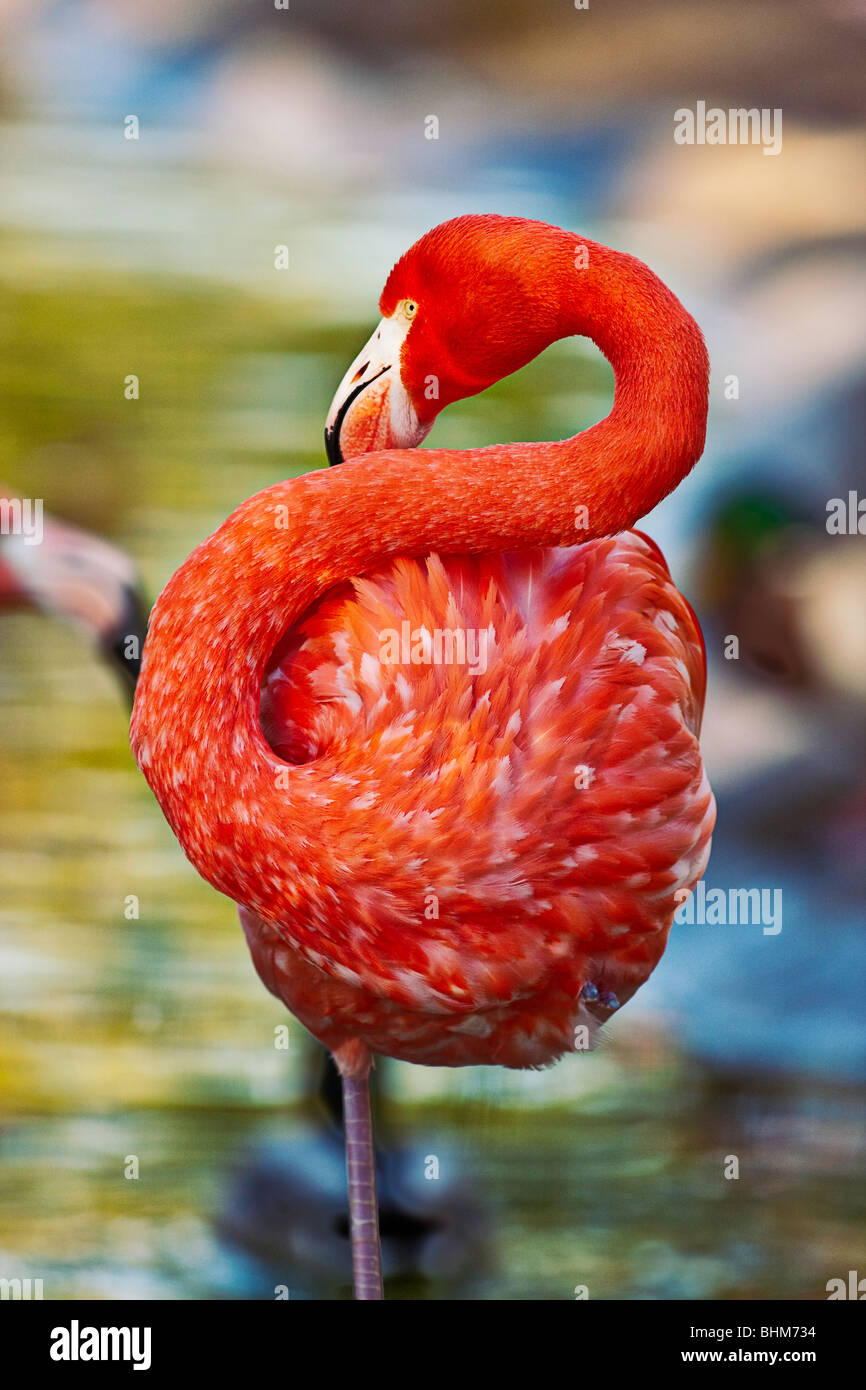 Color photograph of Flamingo standing on one leg.  Shot at San Diego Zoo in San Diego, CA. - Stock Image