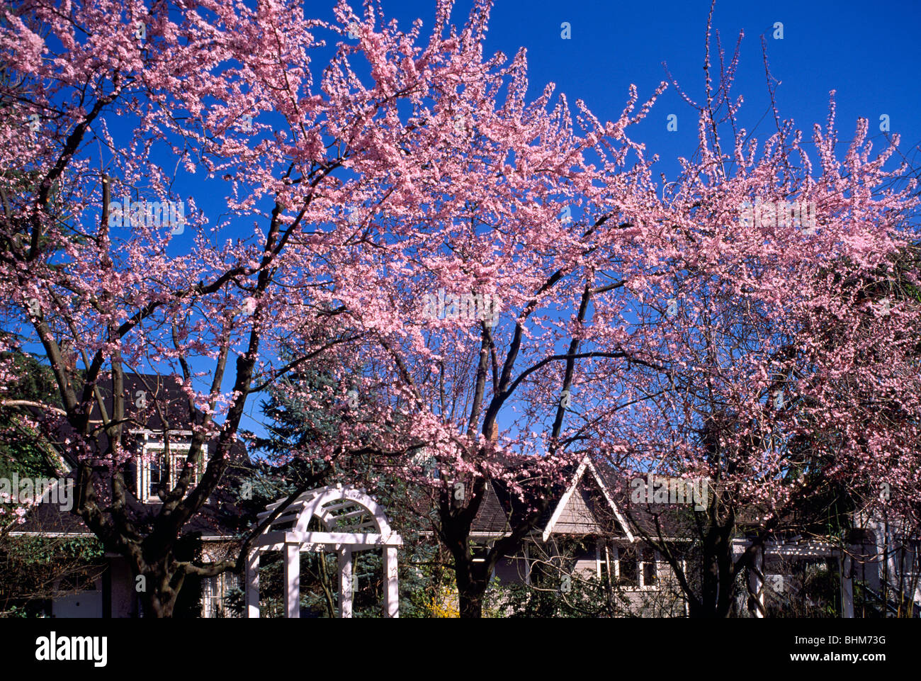 Cherry Blossom Blossoms On Japanese Cherry Trees Vancouver Bc British Columbia Canada Residential Street Scene Spring Stock Photo Alamy