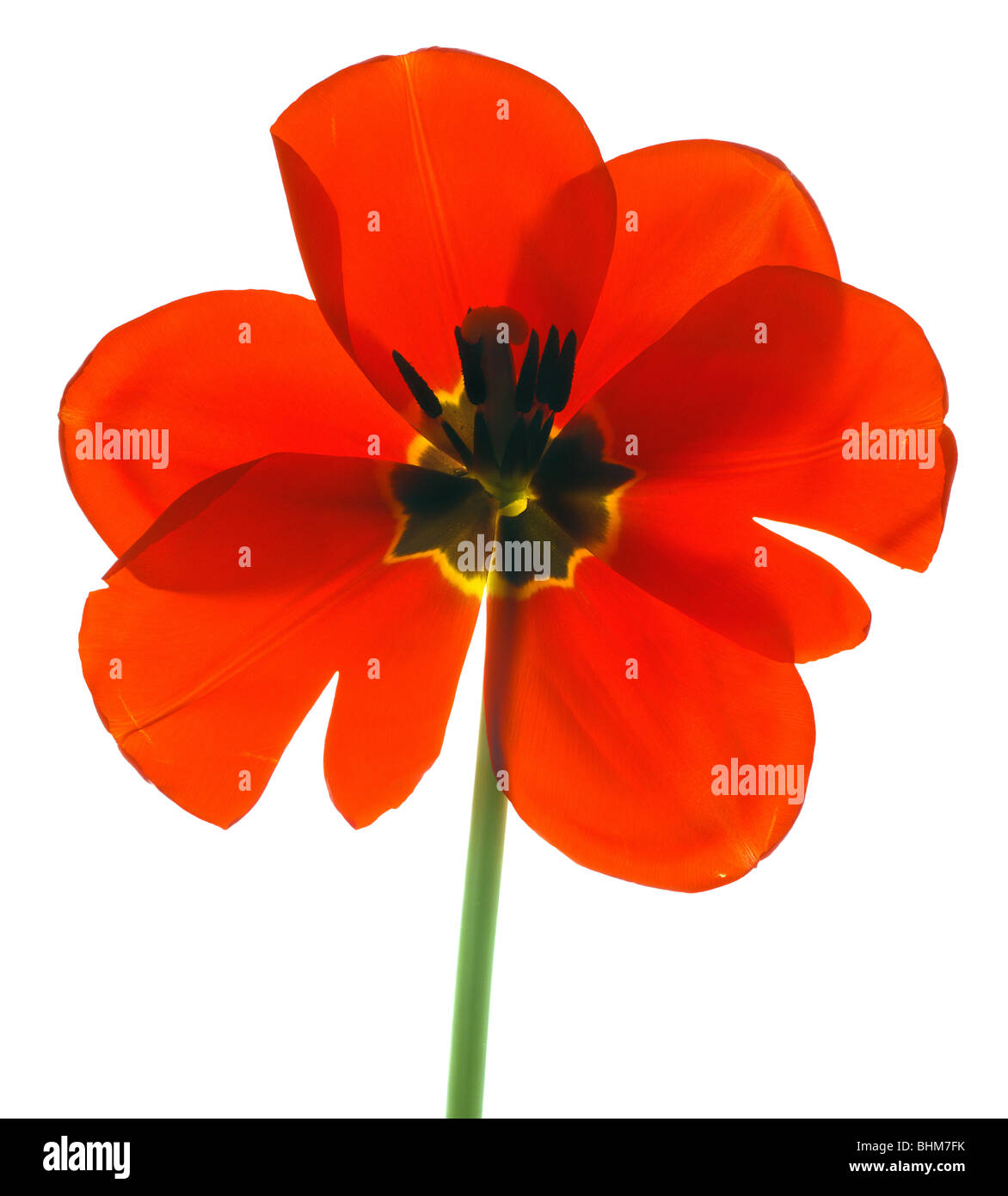 Direct scan of a dutch red tulip. Cut-out isolated on white background. cutout cut out bhz Stock Photo