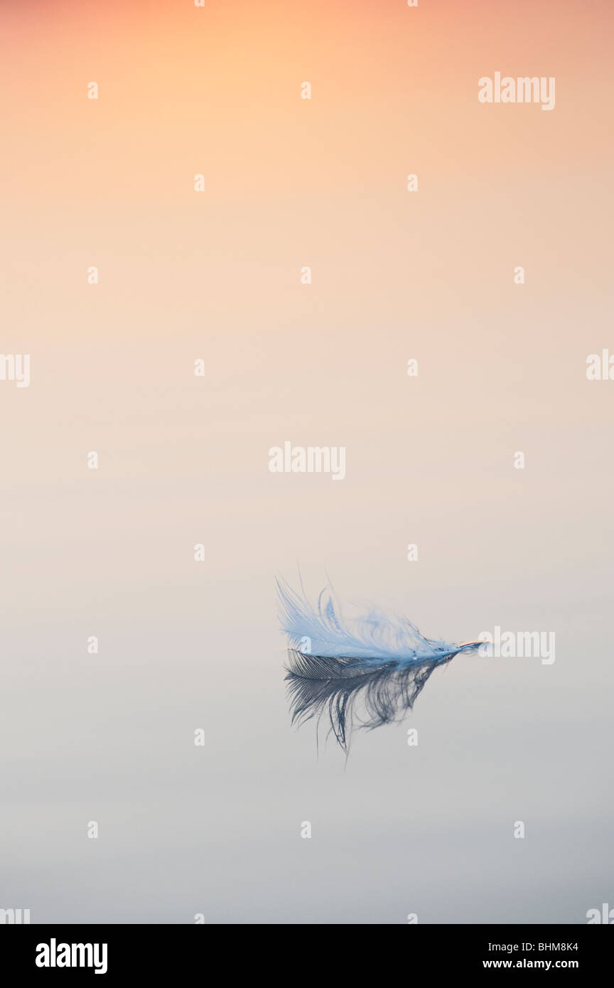 White bird feather floating on still water at sunrise in India - Stock Image