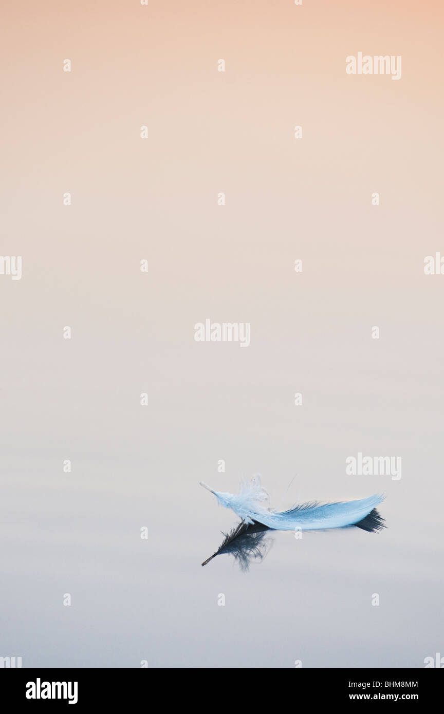 White birds feather floating on still water at sunrise in India - Stock Image