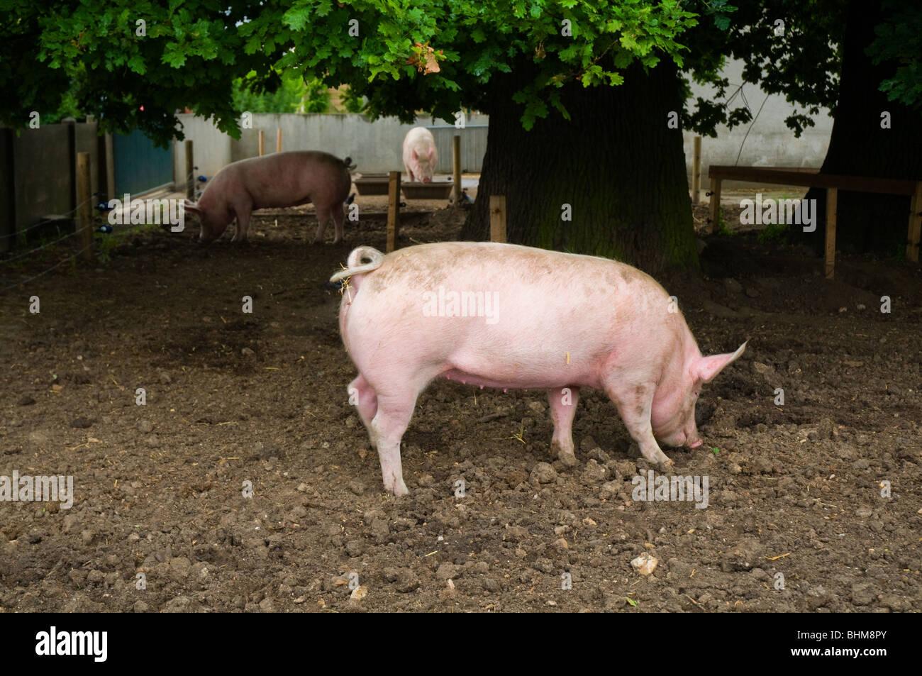 A lovely pinky pork in 'Ferme Georges-Ville', bois de Vincennes Paris - Stock Image