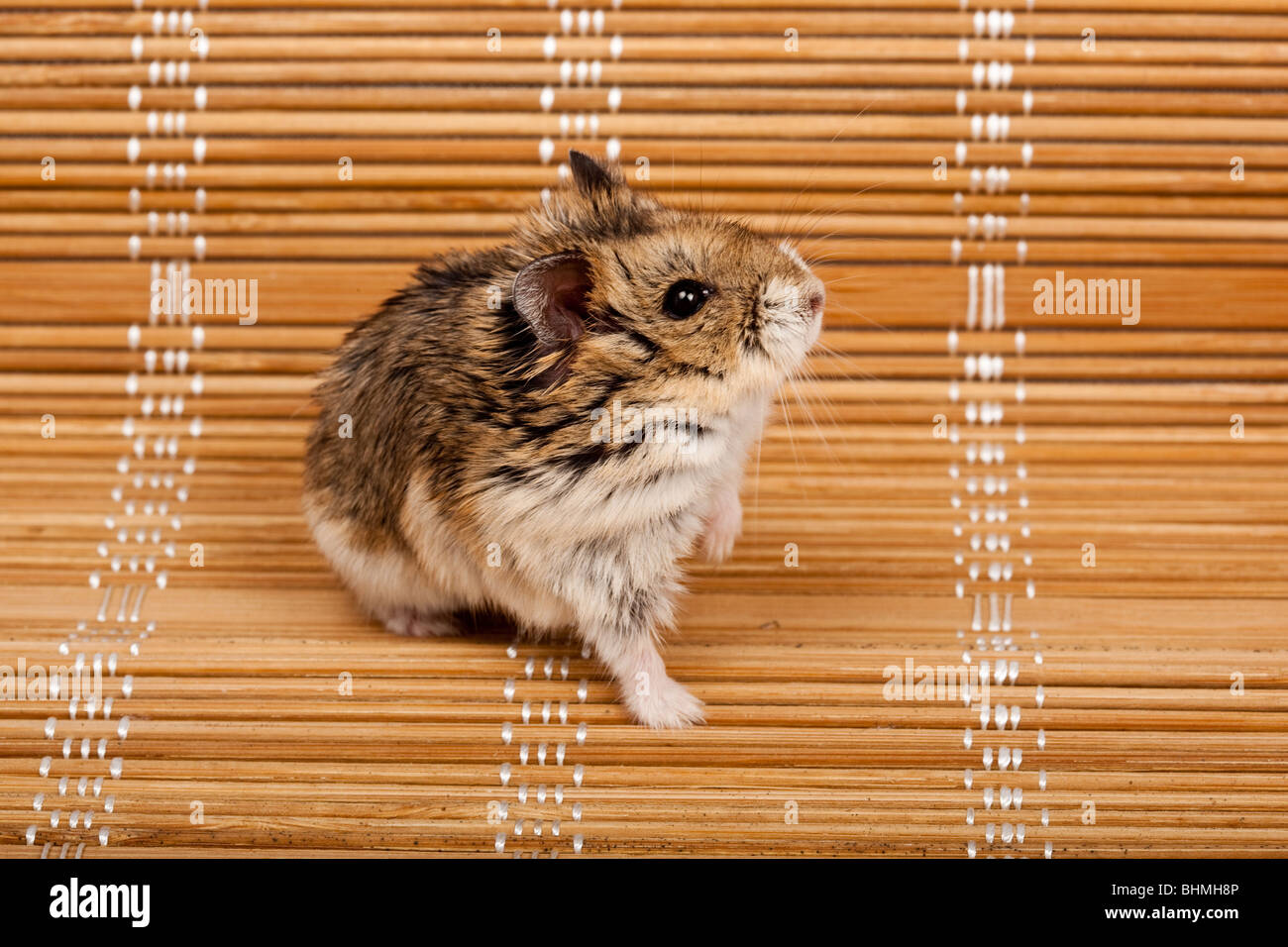 84de3979ac0 Winter White Russian Dwarf Hamster. The photo is made in studio. - Stock  Image