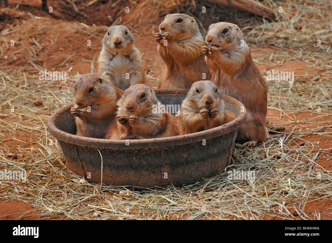 Feeding Prairie Dogs seen near Rapid CIty, South Dakota, USA - Stock Image