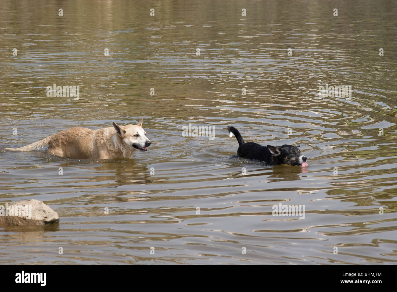 Dogs swimming in pond - Stock Image