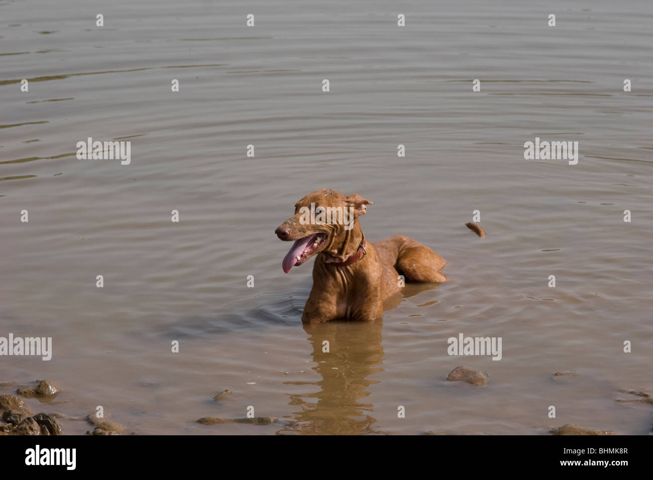 Refuge Dog sitting in water cooling down on a hot day in Tenerife - Stock Image