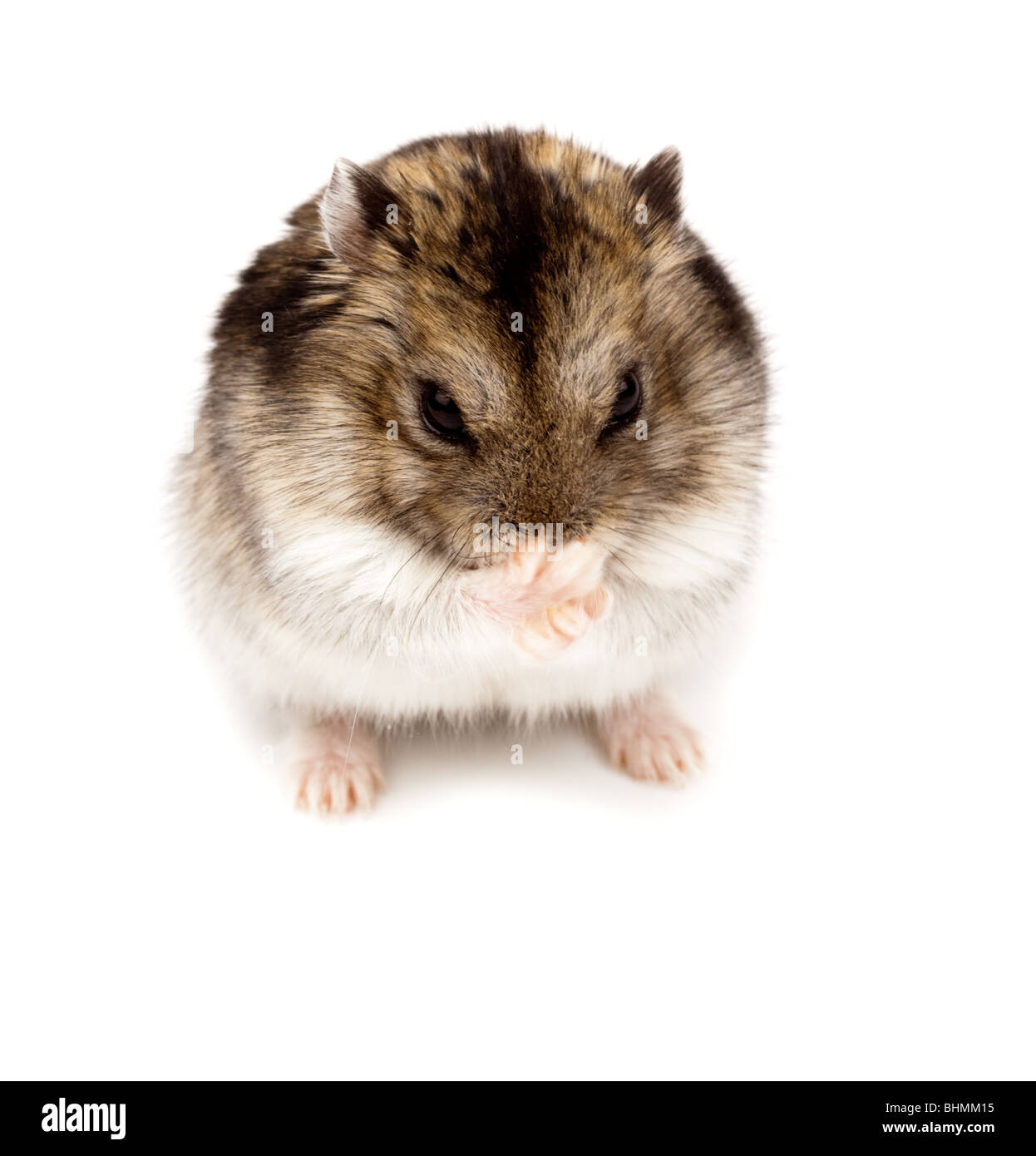 b78e91f4a6a Winter White Russian Dwarf Hamster in studio against a white background. -  Stock Image