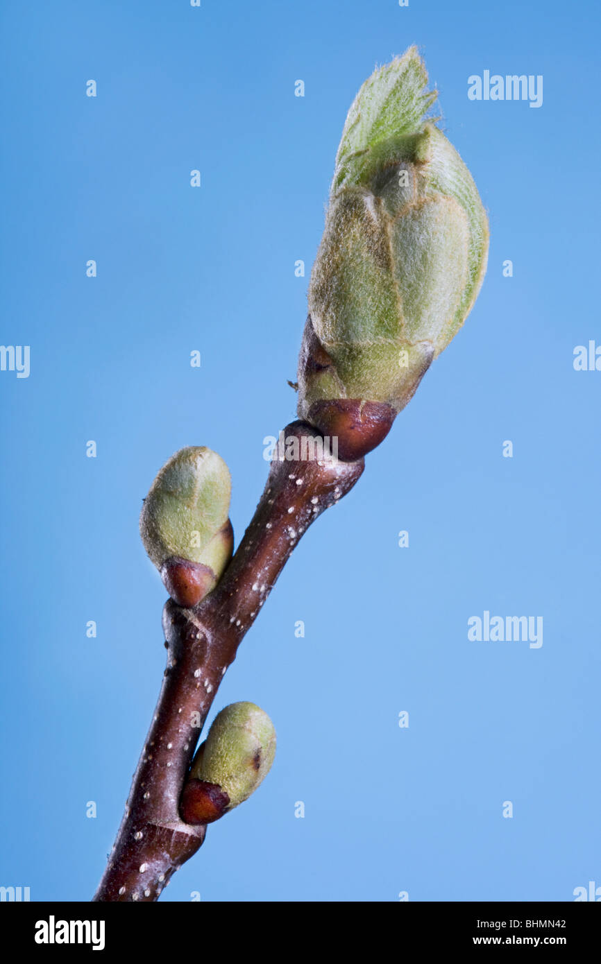 Sweet Chestnut / Marron (Castanea sativa) buds and leaves emerging Stock Photo