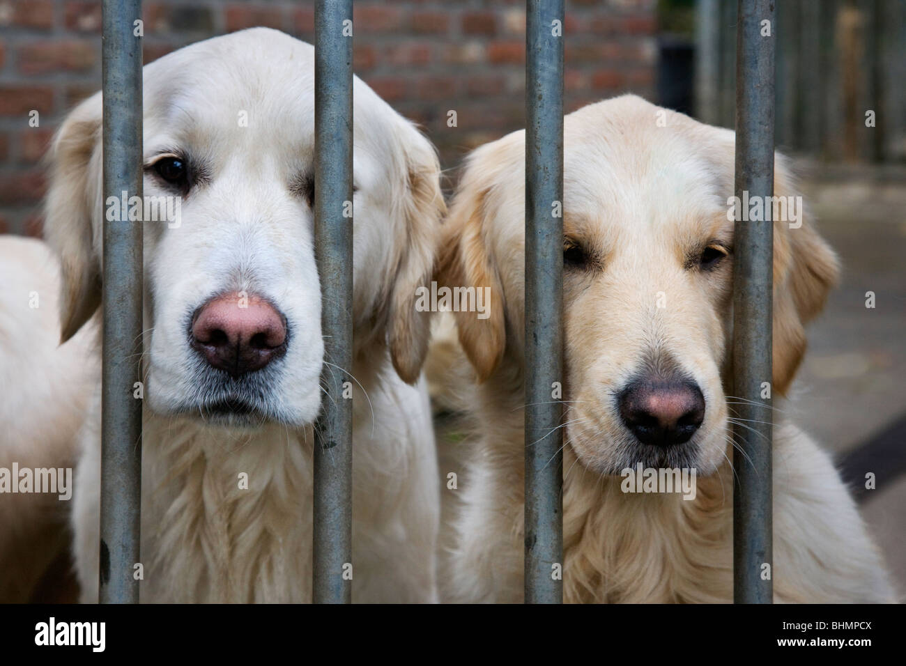 Two Golden Retrievers (Canis lupus familiaris) behind bars in cage - Stock Image