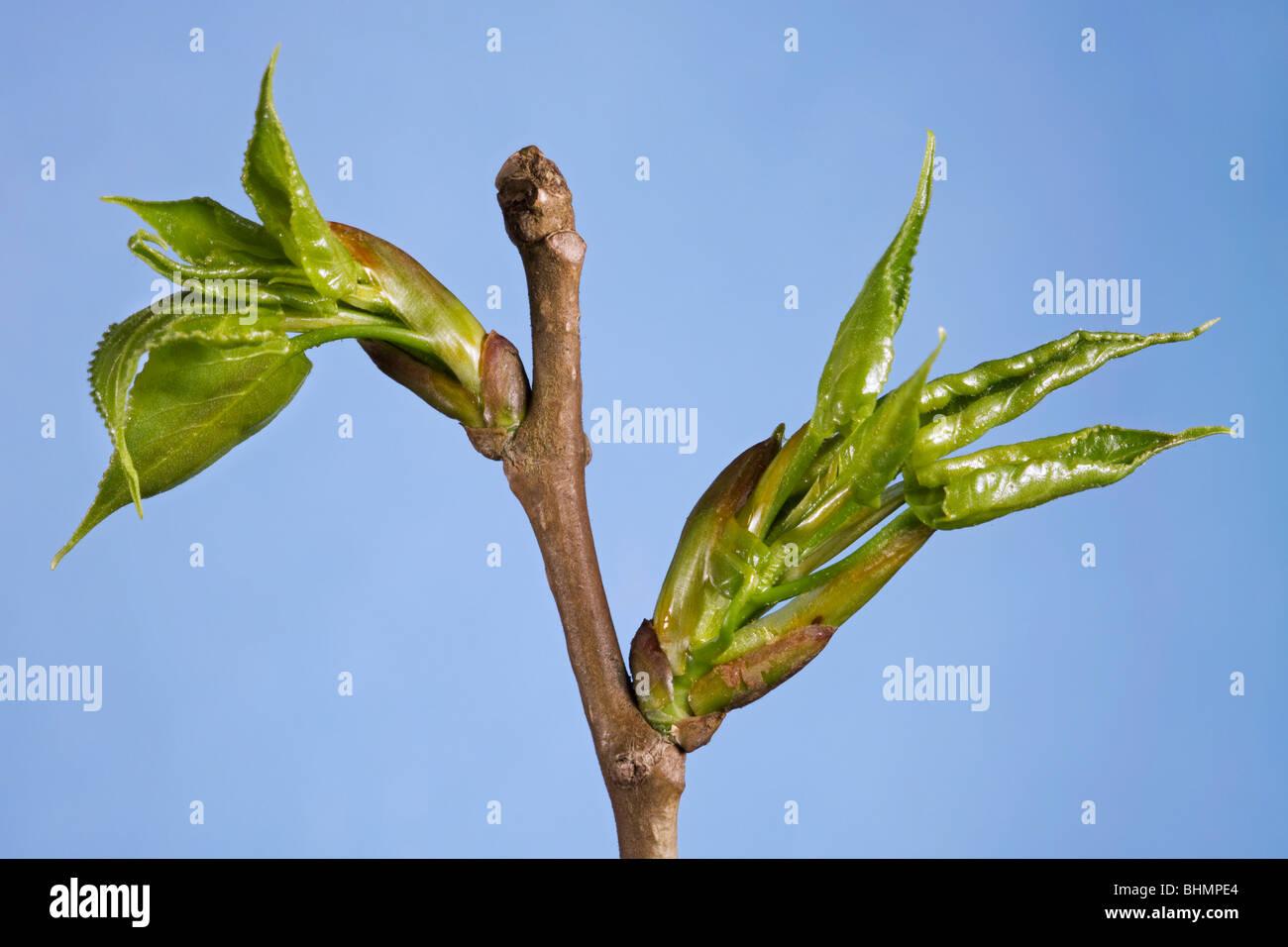 Carolina Poplar (Populus canadensis) showing buds and leaves emerging, Belgium - Stock Image
