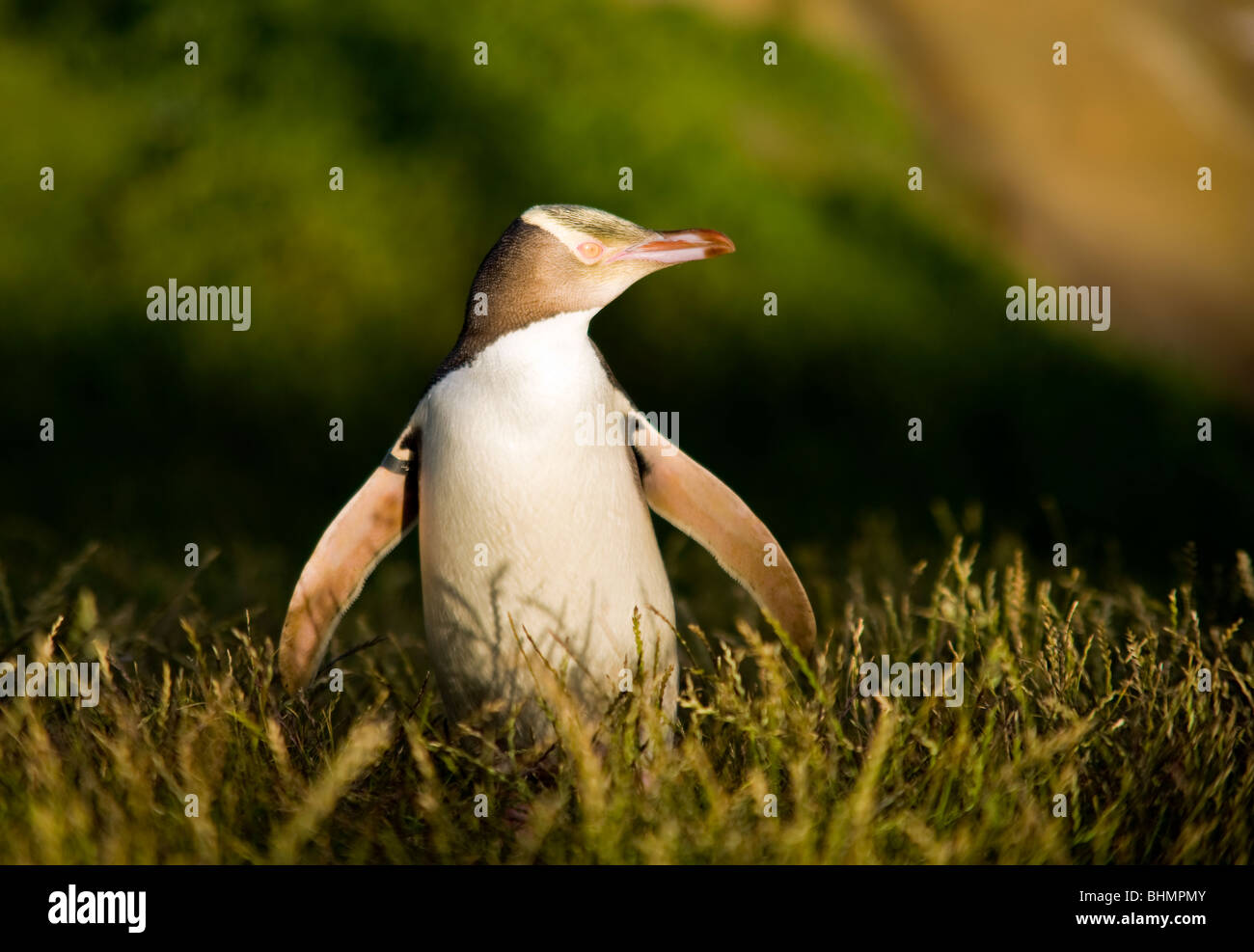 Yellow Eyed Penguin, Katiki Point, Otago, South Island, New Zealand - Stock Image