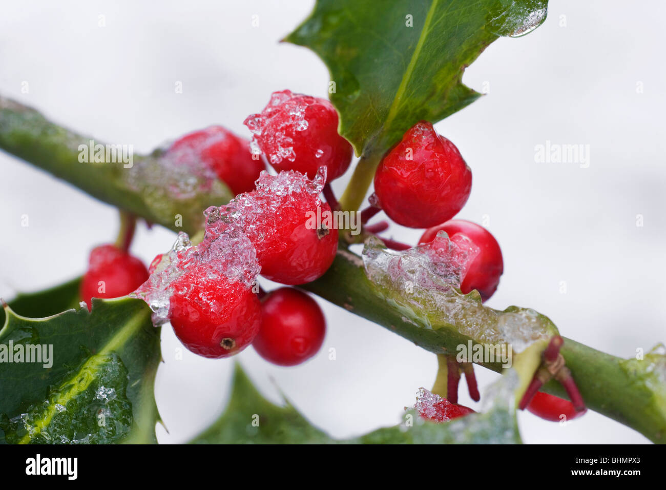 European Holly (Ilex aquifolium) red berries and leaves in the snow in winter - Stock Image