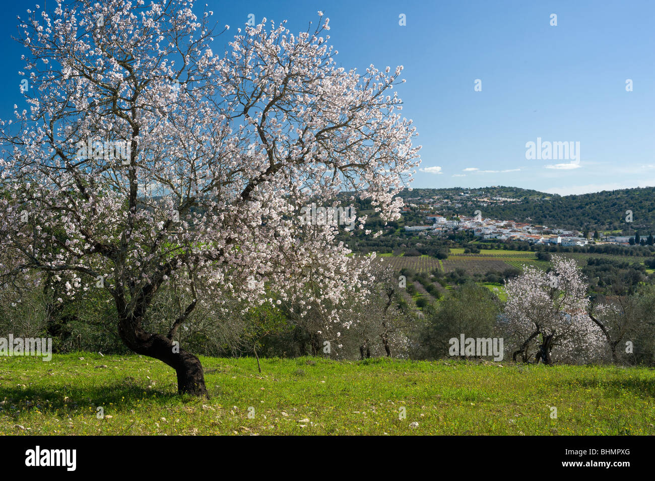 Portugal, the Algarve, almond blossom in the countryside, inland from Albufeira - Stock Image