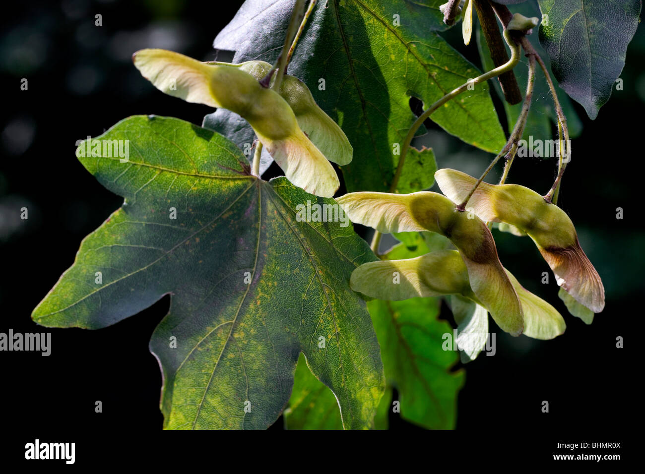 Field Maple / Hedge Maple (Acer campestre) with fruit, Belgium - Stock Image
