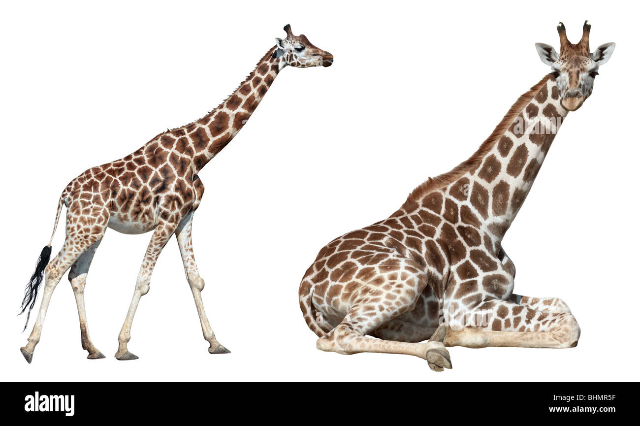 Giraffe lie and run isolated on white background - Stock Image