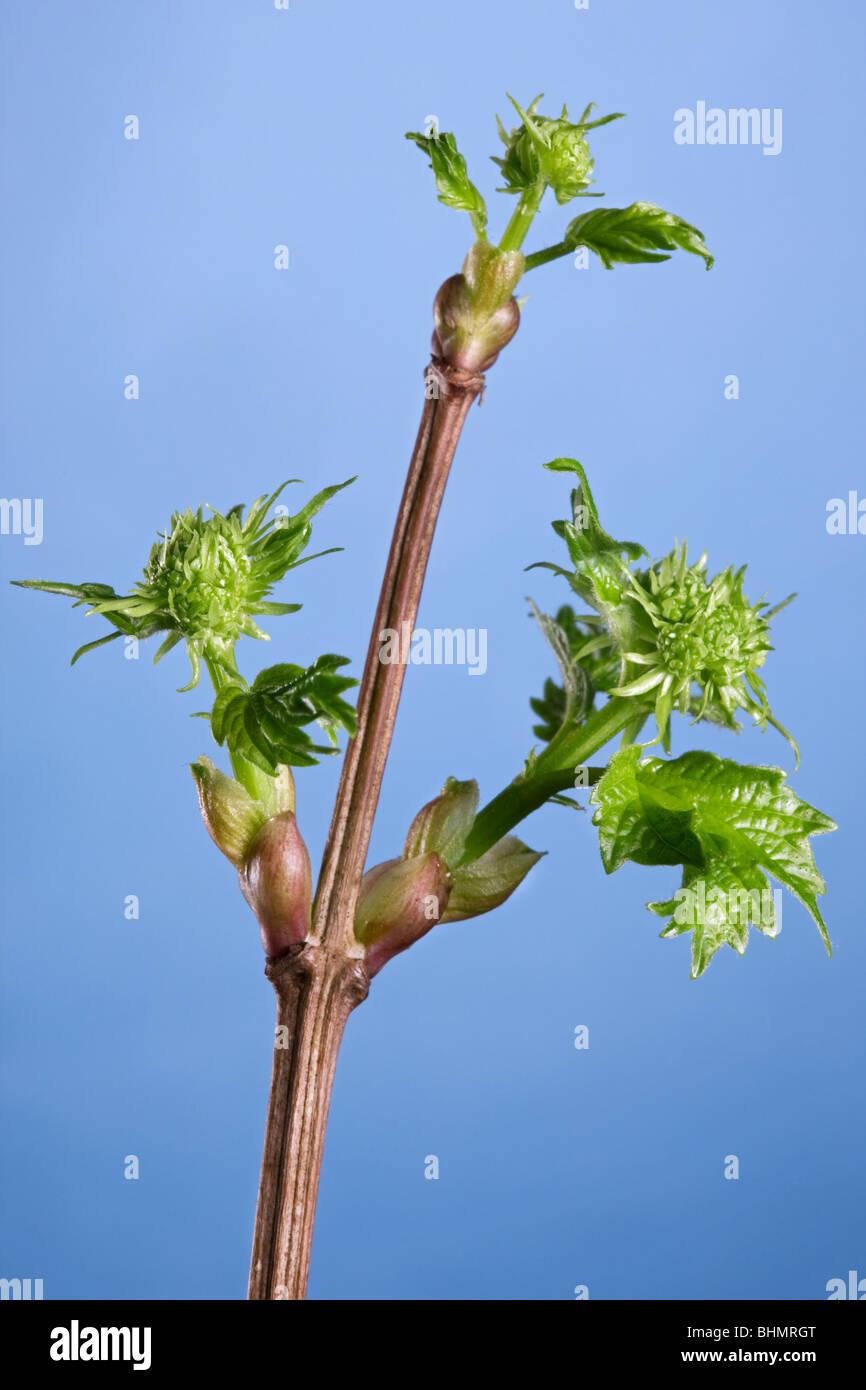 Guelder Rose / Water Elder / Cramp Bark / Snowbell Tree (Viburnum opulus) buds with new leaves, Belgium - Stock Image