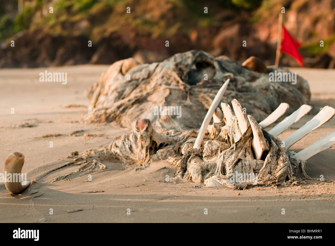 Beached Whale Carcus - Stock Image