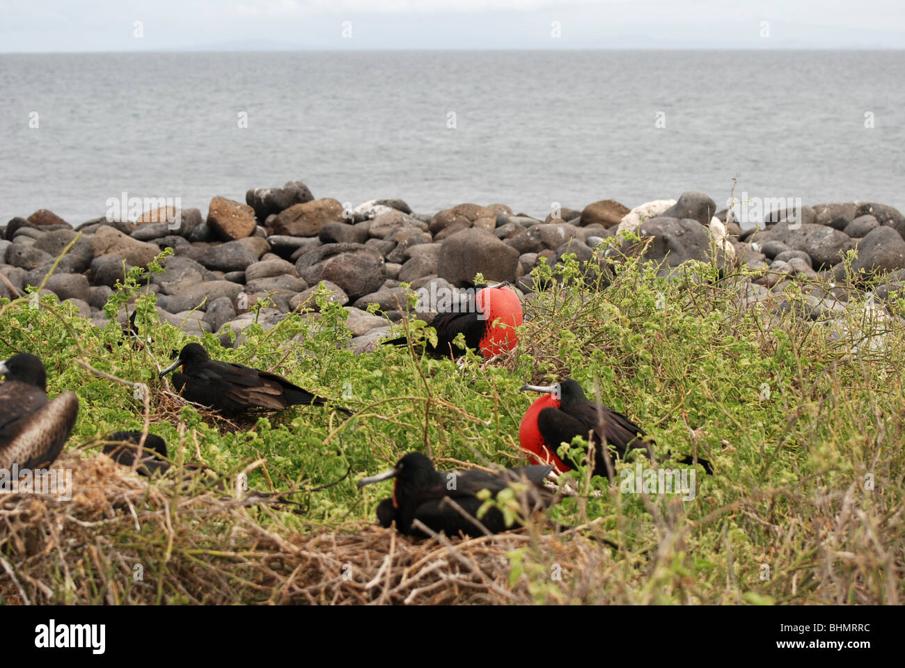 Magnificent Frigatebirds ( fregata magnificens ) nesting on the cliff edge on the island of Seymour Norte - Stock Image