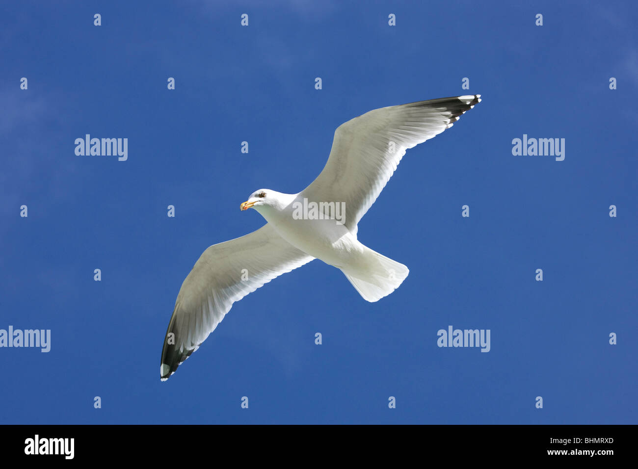 Herring gull (Larus argentatus) in flight against blue sky Stock Photo