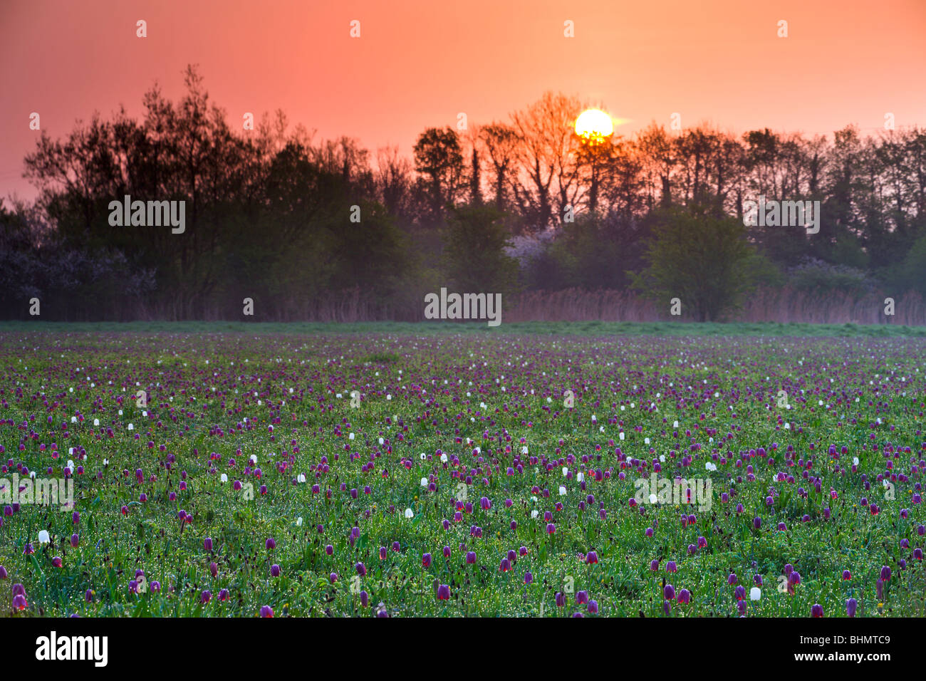 Sunrise over a meadow of Snake's Head fritillary (Fritillaria meleagris) wildflowers, North Meadow, Cricklade, - Stock Image
