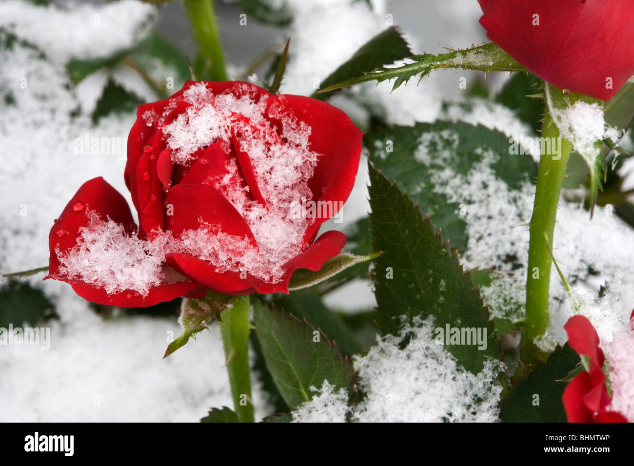 Red roses in the snow in winter, Belgium - Stock Image