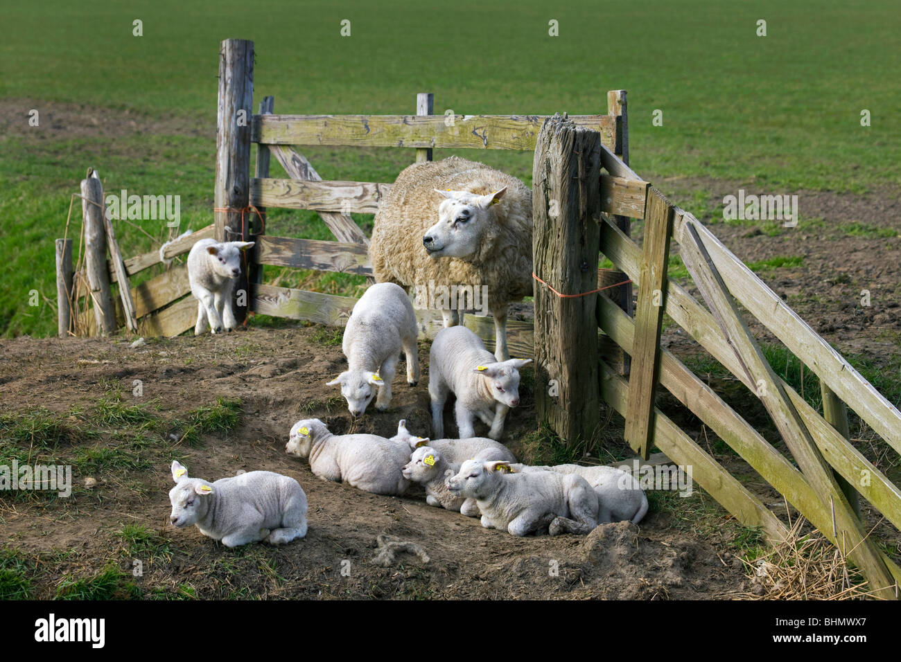 Domestic Texel sheep (Ovis aries) ewe with lambs in corral, The Netherlands - Stock Image