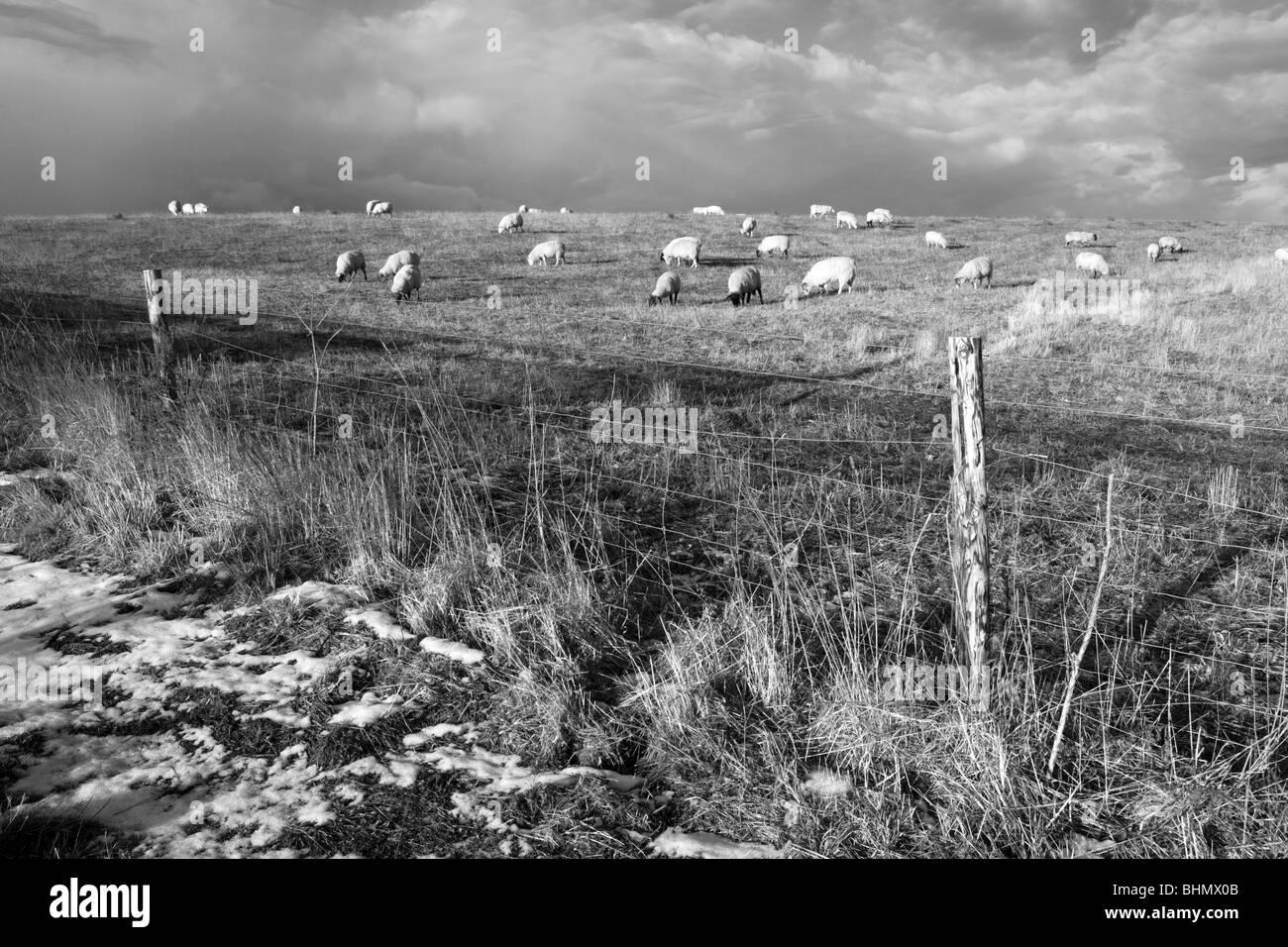Sheep in Winter Field - Stock Image