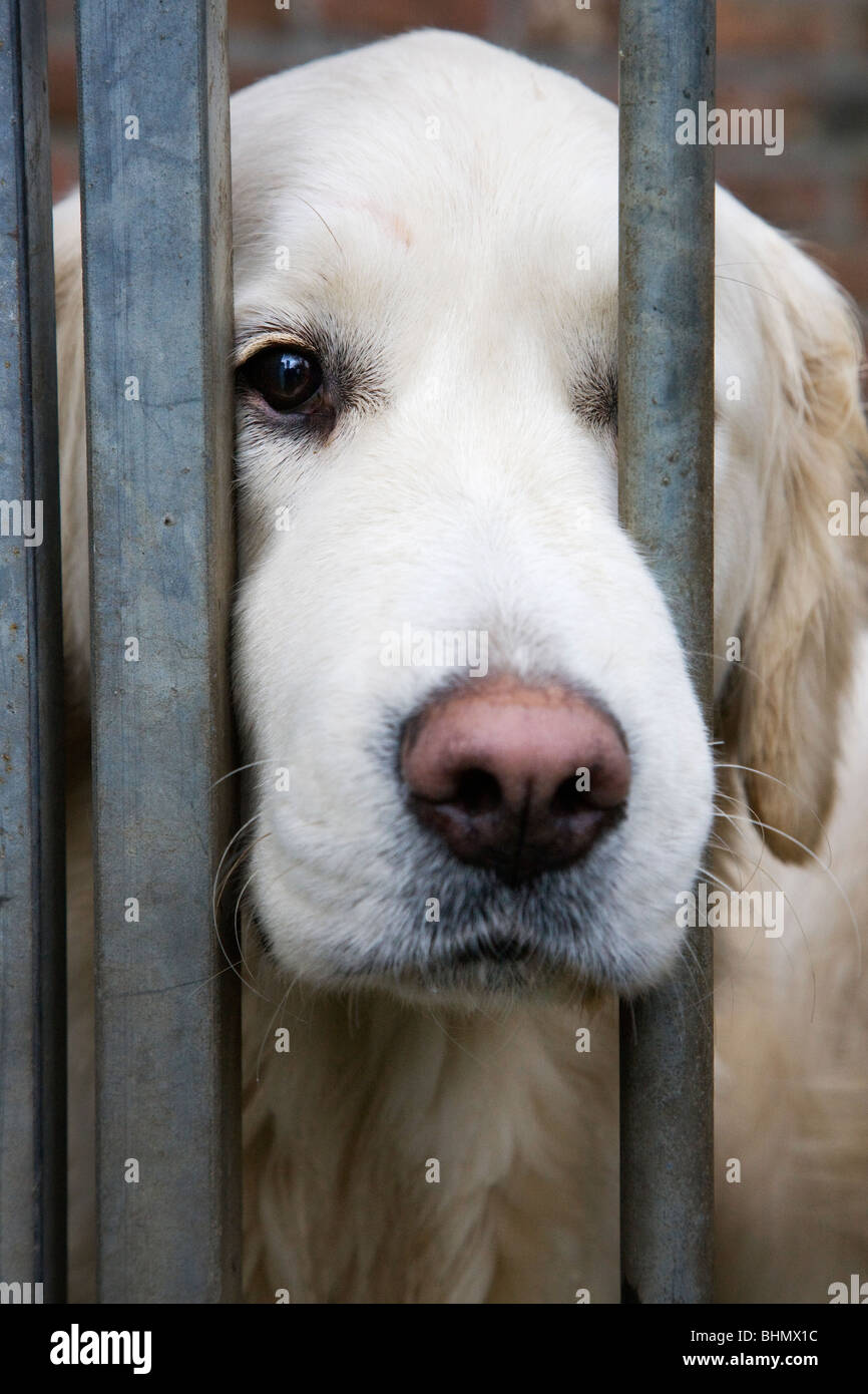 Golden Retriever (Canis lupus familiaris) behind bars in cage - Stock Image