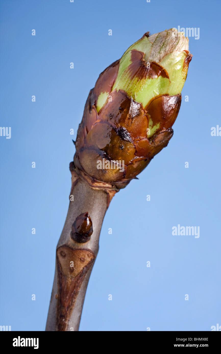 Horse-chestnut / Conker tree (Aesculus hippocastanum) bud, Belgium - Stock Image