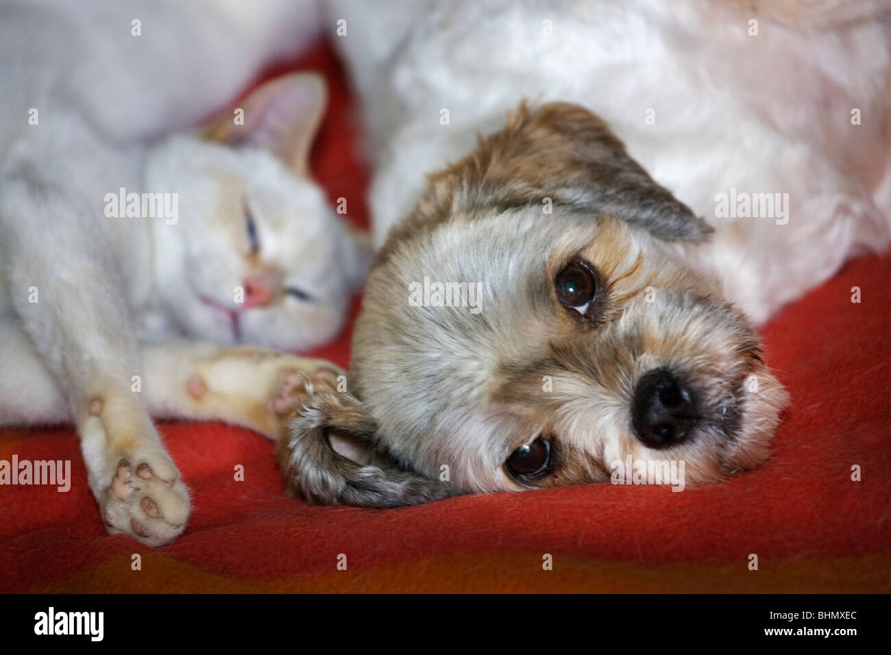 House cat and mongrel dog (Canis lupus familiaris) sleeping together - Stock Image