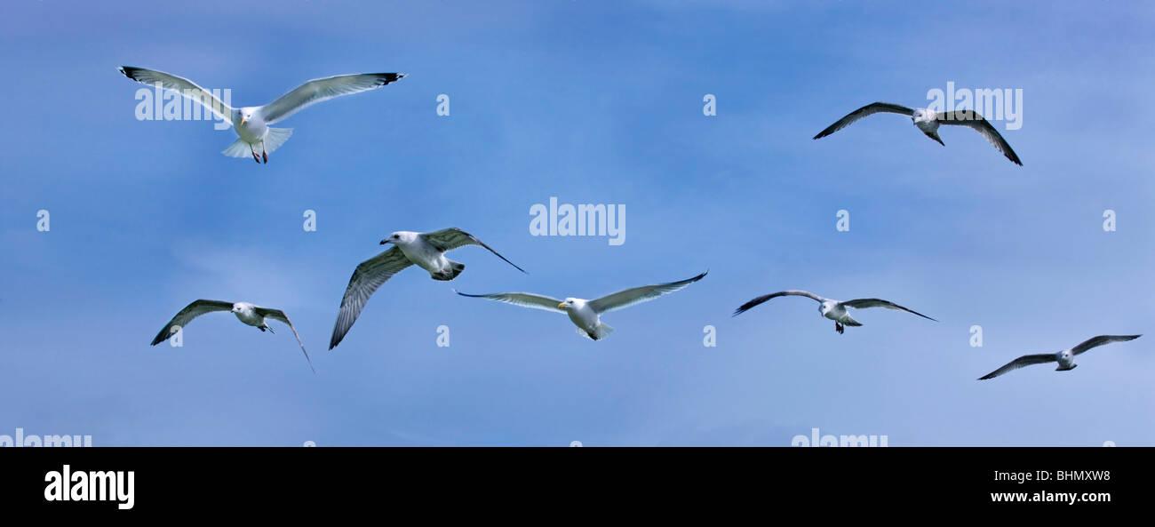 Herring gulls (Larus argentatus) in flight against blue sky, the Netherlands - Stock Image