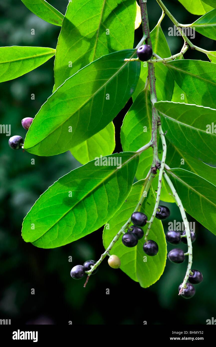 Cherry laurel / English laurel (Prunus laurocerasus) showing leaves and black berries, Belgium - Stock Image